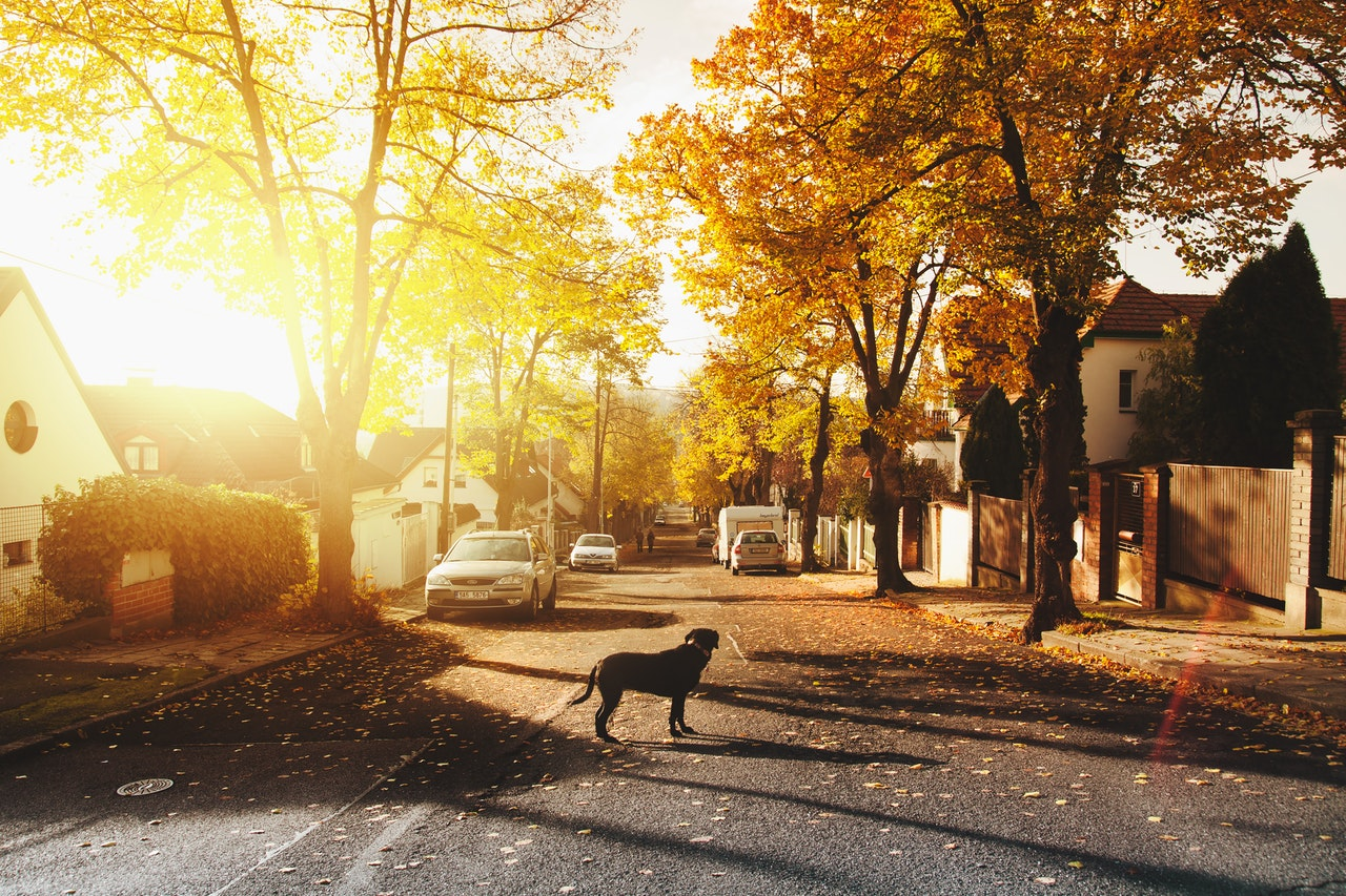 dog in neighborhood under golden sunset