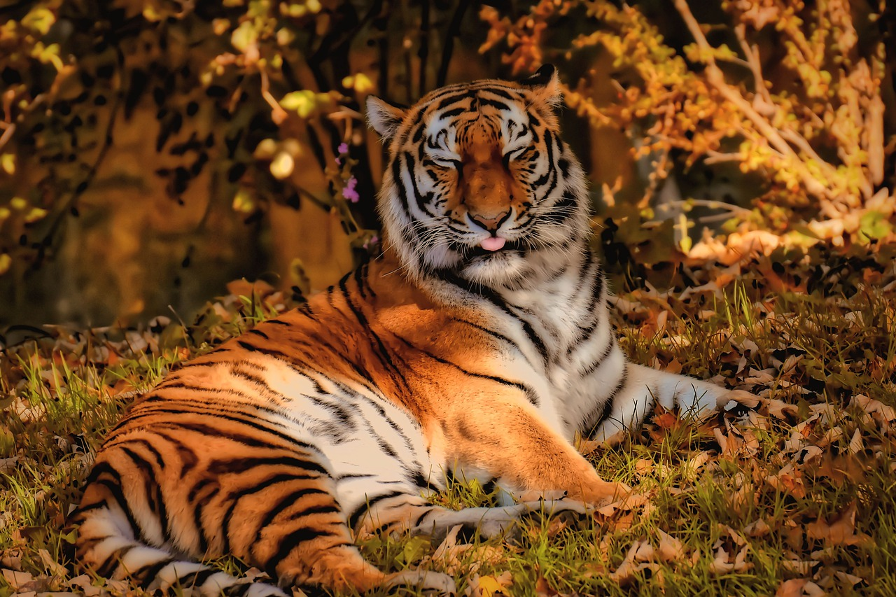 Lowkey Portrait Of Tiger In Captivity Stock Photo