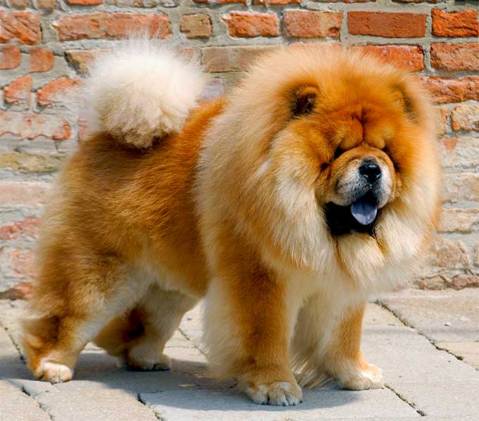 Dangerous Dog Breed - Chow Chow